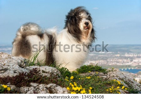 Cute Havanese dog is standing on a rocky mountain in wind, beneath a city landscape - stock photo