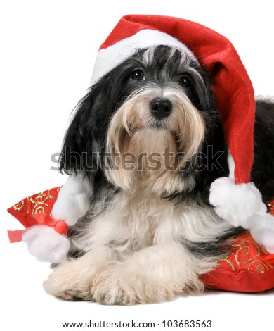 Cute havanese puppy dog with Santa hat is lying on red cushion. Isolated on a white background