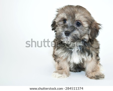 Cute Havanese puppy looking to the right with copy space, on a white background.