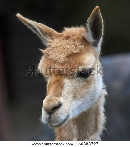 Cute head of a vicuna, Lama vicugna, latinos hoofed animal with the finest wool. Woolly pet in hay with human like face, giving the famous South-American wool.