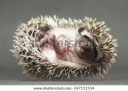 cute hedgehog baby in roll background