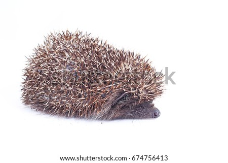 Cute hedgehog. Hedgehog quill closeup.  hedgehog spike spikes quills as texture background.  Hedgehog is any of the spiny mammals of the subfamily Erinaceinae, in the eulipotyphlan family Erinaceidae.