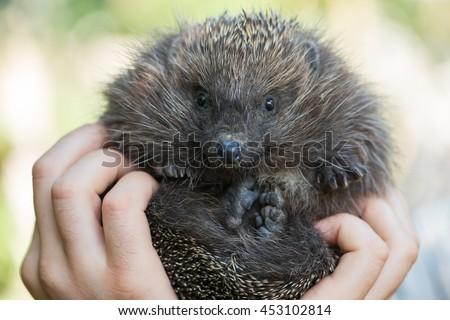 Cute hedgehog in male hand, closeup - stock photo