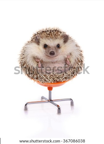 Cute hedgehog sitting on chair like ball on white background - stock photo