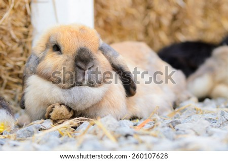 Cute holland lop rabbit eating fresh vegetable - stock photo