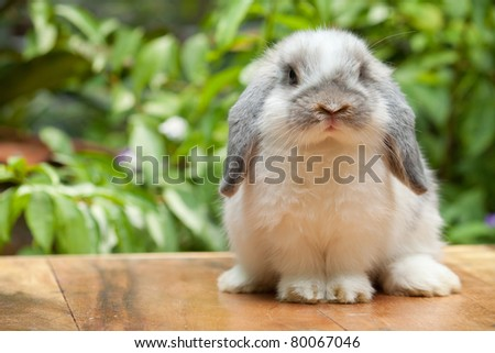Cute holland lop rabbit standing at outdoor - stock photo