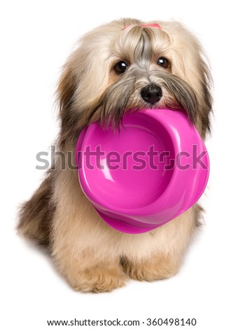 Cute hungry Bichon Havanese puppy dog is keeping an empty food bowl in her mouth - isolated on white background - stock photo