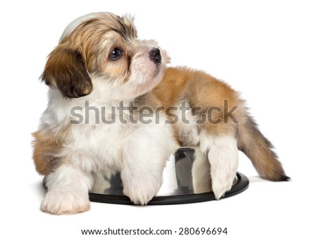 Cute hungry Bichon Havanese puppy dog is lying on a metal food bowl and waiting for feeding - isolated on white background - stock photo