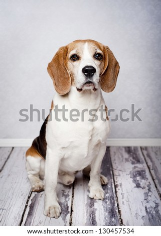 Cute hunting dog  portrait on wooden floor - stock photo