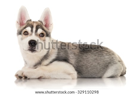 Cute husky puppy, isolated on white