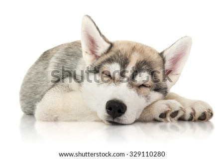 Cute husky puppy sleep, isolated on white - stock photo
