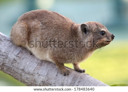 Cute Hyrax or Rock Rabbit from South Africa also called Dassie - stock photo