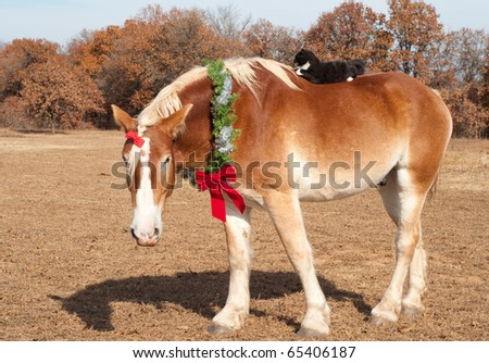 Cute image of a huge Belgian Draft horse wearing a Christmas wreath and a bow in his forelock, his little kitty cat friend riding on his broad back - stock photo