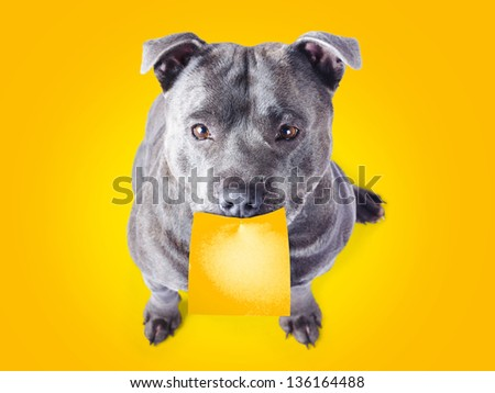 Cute imploring purebred blue staffordshire bull terrier with a blank sticky note with copysapce for your text stuck on his mouth looking up at the viewer with beseeching eyes on an orange background - stock photo