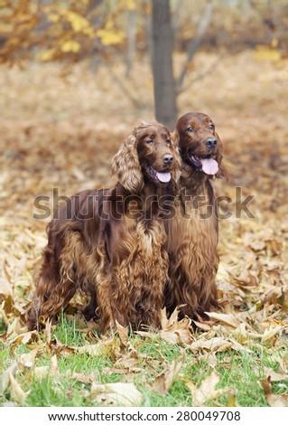 Cute Irish Setter pair in a beautiful Autumn wood - stock photo