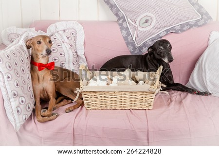 cute Italian greyhound couple - stock photo