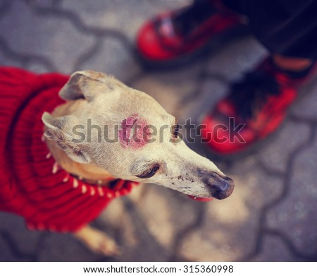 cute italian greyhound dressed in a red sweater with a lipstick kiss on her head in a unique photo with an overhead angle representing love from her owner toned with a retro vintage instagram filter  - stock photo