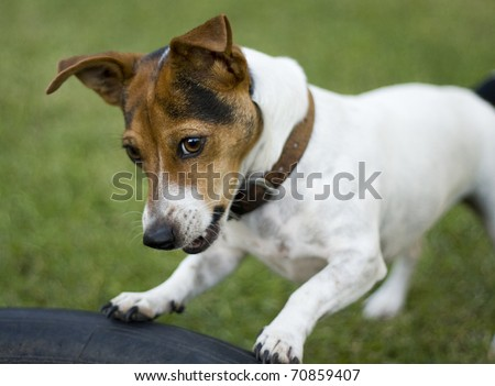 Cute jack russel dog playing in a garden