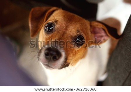 Cute jack russel terrier dog looking straight at you with big puppy eyes. - stock photo