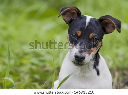 Cute jack russel terrier puppy looking at the camera - stock photo