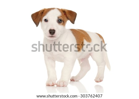 Cute Jack Russell puppy in front of white background