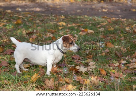 Cute Jack Russell Terrier and soap bubbles - stock photo