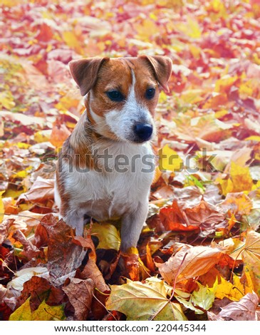 Cute jack russell terrier, dog on a background of autumn leaves - stock photo