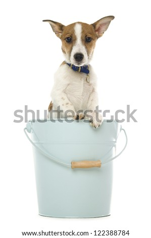 Cute Jack Russell Terrier dog wearing a blue collar standing in a pale blue metal bucket with a wooden handle isolated on a white background