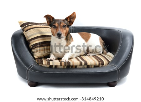 Cute Jack Russell Terrier Lying Calm on Luxury Dog Bed Isolated on White Background - stock photo