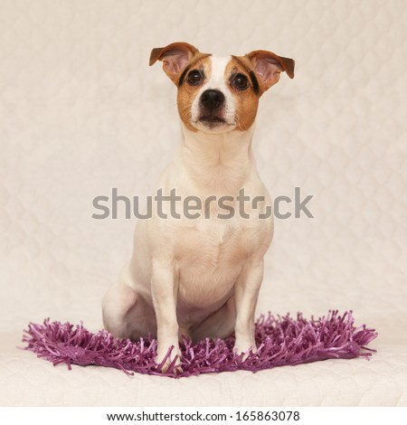 Cute jack russell terrier lying on purple blanket and looking at you - stock photo