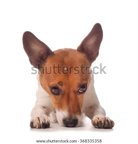 Cute Jack Russell Terrier on a white studio background
