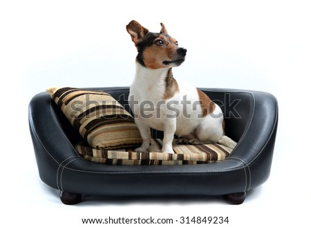 Cute Jack Russell Terrier sitting on Luxury Dog Bed Isolated on White Background