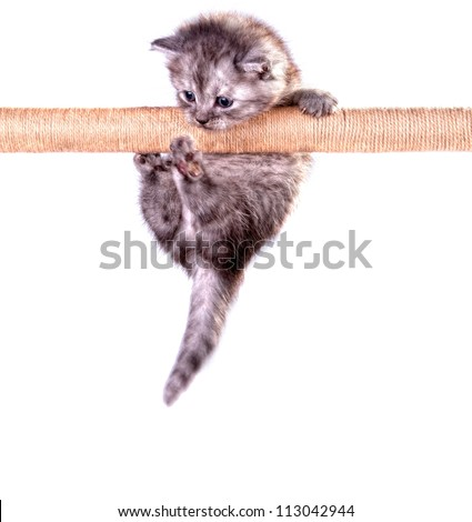 Cute kitten climbing on the rope isolated on white studio background - stock photo