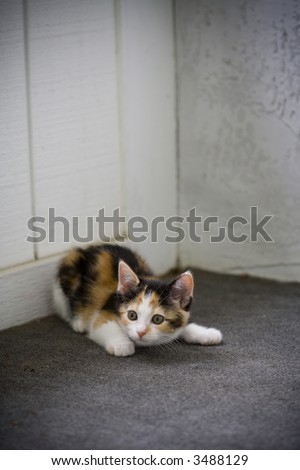 Cute kitten crouched, ready to pounce - stock photo