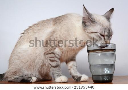 cute kitten drinking - stock photo