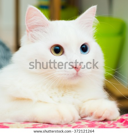 Cute kitten fluffy white Turkish Angora with eyes of different colors lying on a bed and looking with interest - stock photo