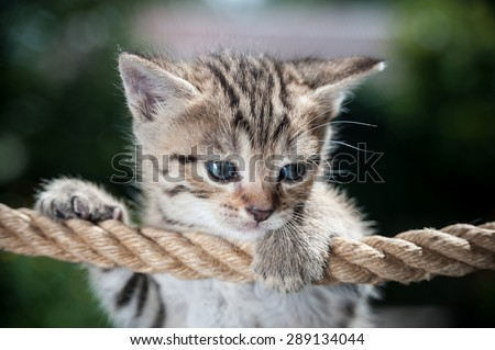 Cute kitten hanging on the rope looking down - stock photo