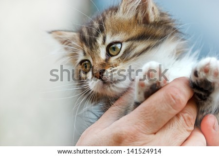 Cute kitten in the hands of woman - stock photo