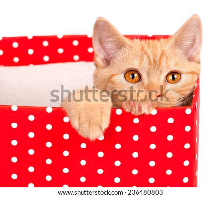 Cute kitten look out of the red gift box on white background