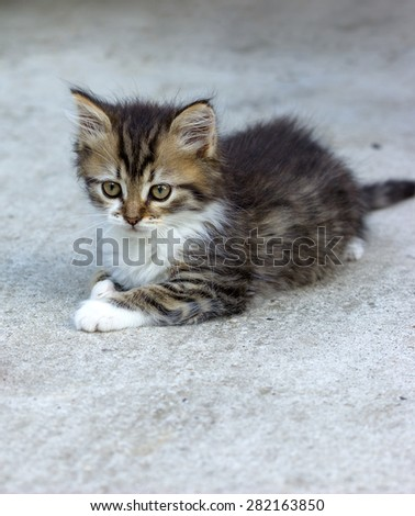 Cute kitten - Maine Coon