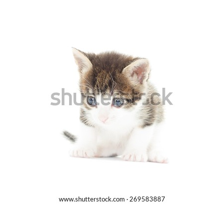 cute kitten on a white background