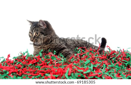 Cute kitten playing with colorful red and green Christmas decorations