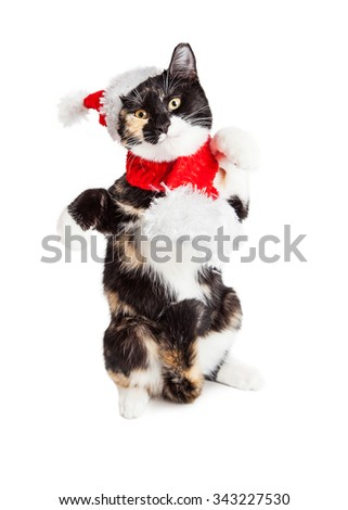 Cute kitten standing on hind legs dancing while wearing Christmas Santa Claus hat and scarf