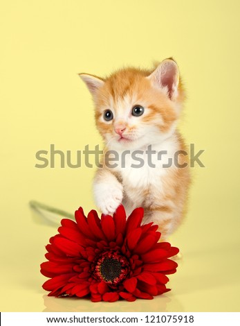 Cute kitten toughing a red flower against a yellow background