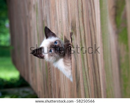 Cute kitten with blue eyes peeking through a wooden fence