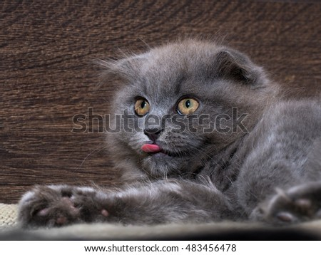 Cute kitten with pink tongue sticking out. Grey, lop-eared cat. Fluffy funny cat on a background of a wooden wall.