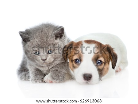 Cute kitten with puppy Jack Russell.  isolated on white background