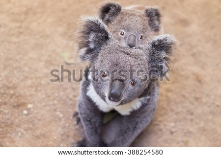 cute koala bear eating  with young joey baby koala in featherdale wildlife park in new south wales close to sydney in australia - stock photo