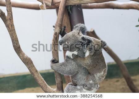 cute koala bear  with young joey baby koala iin featherdale wildlife park in new south wales close to sydney in australia - stock photo