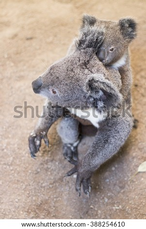 cute koala bear  with young joey baby koala in featherdale wildlife park in new south wales close to sydney in australia - stock photo